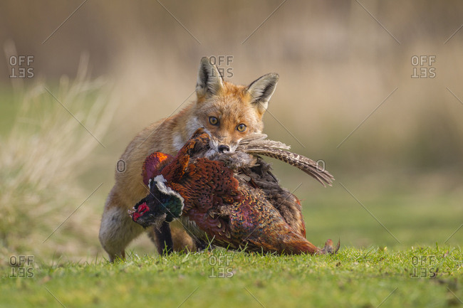 Red Fox (Vulpes vulpes) carrying a dead Pheasant (Phasianus colchicus), Bedfordshire, United Kingdom, Europe
