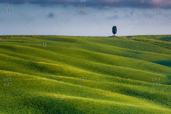 A solitary cypress in a green field, Val d'Orcia, Tuscany, Italy, Europe