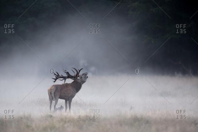 Red Deer (Cervus elaphus), stag, roaring in the morning fog, Zealand, Denmark, Europe