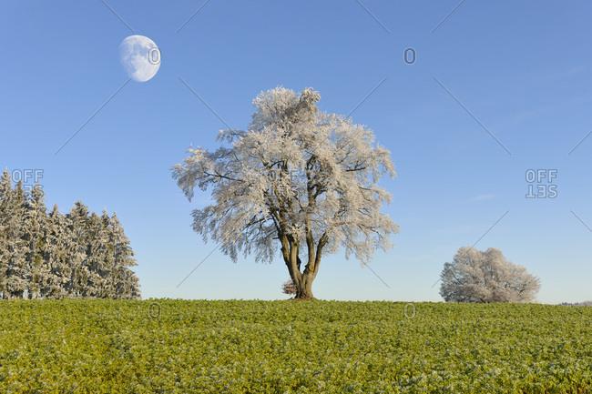 Black alder, European alder (Alnus glutinosa) covered with hoarfrost, moon, Swabian Alps, Baden-Wuerttemberg, Germany, Europe, composing, Europe