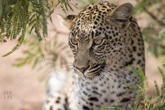 Leopard (Panthera pardus) looking attentively, portrait, Timbavati Game Reserve, South Africa, Africa