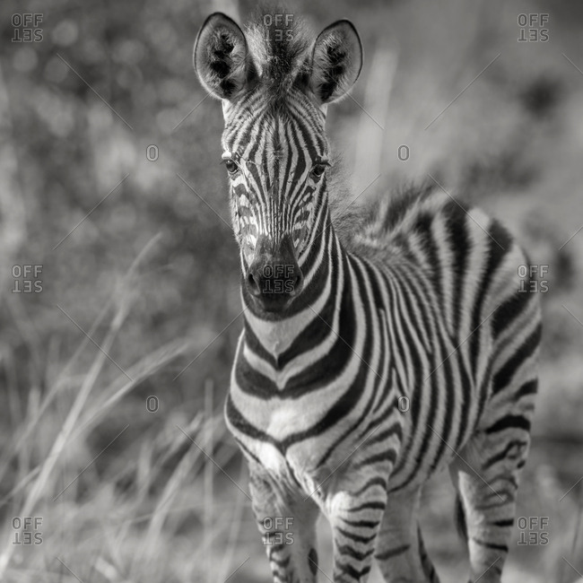 Young plains zebra, Burchell's zebra, (Equus quagga), Timbavati Game Reserve, South Africa, Africa