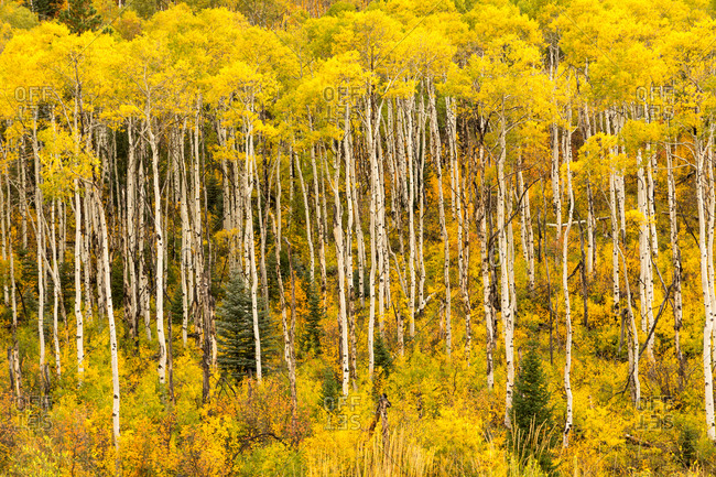 Birch forest in autumn, Rocky Mountains, Colorado, USA, North America