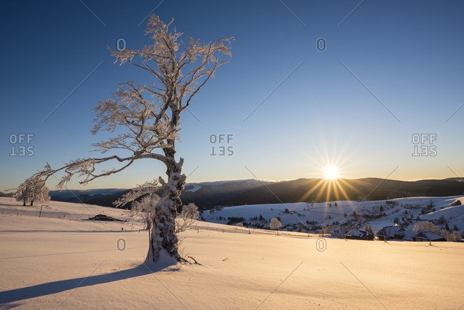 Snow covered tree at sunrise, mountain Schauinsland in winter, behind it the village Hofsgrund, near Freiburg, Southern Black Forest, Baden-Wurttemberg, Germany, Europe