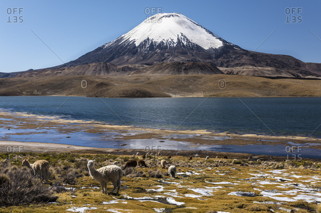 Llama (Lama glama) in front of the volcano Parinacota, altitude 6348m, Lake Chungara, Lauca National Park, Putre, Parinacota, Region de Arica y Parinacota, Chile, South America