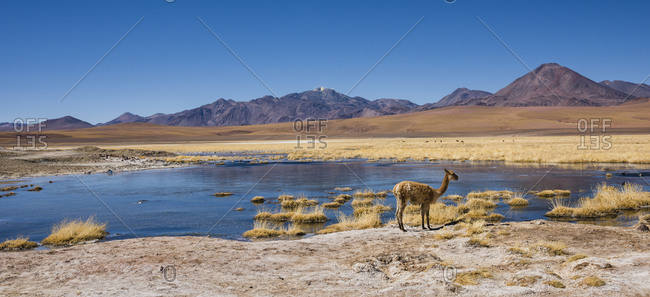 Vicuna (vicugna vicugna) or vicuna on a lake, behind volcanoes, Andean highlands, Rio Putana, San Pedro de Atacama, El Loa, Antofagasta, Norte Grande, Chile, South America