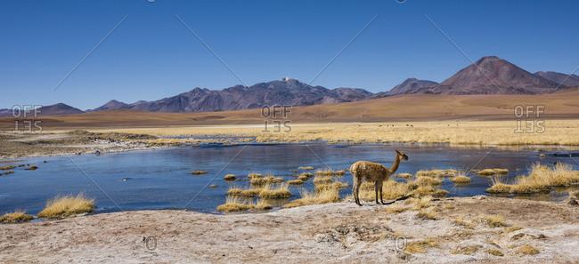 Vicuna (vicugna vicugna) or vicuna on a lake, behind volcanoes, Andean highlands, Rio Putana, San Pedro de Atacama, El Loa, Antofagasta, Norte Grande, Chile, South America