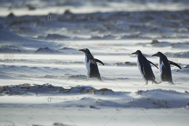 Gentoo Penguins (Pygocelis papua papua) marching in line, Sea Lion Island, Falkland Islands, South Atlantic, South America