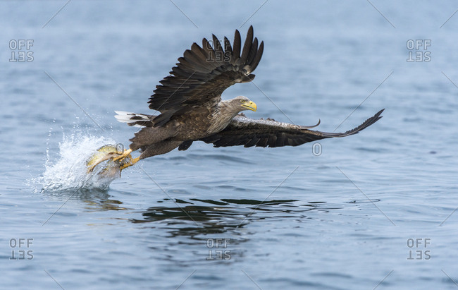 White-tailed Eagle or Sea Eagle (Haliaeetus albicilla) in flight, with a pike in its talons, Mecklenburg Lake District, Mecklenburg-Western Pomerania, Germany, Europe
