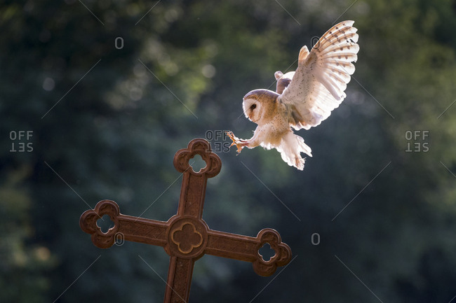 Barn owl (Tyto alba), captive, landing on a cross, Vulkaneifel, Germany, Europe