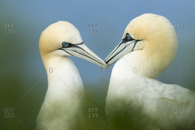 Two Northern Gannets (Sula bassana), courtship, Schleswig-Holstein, Heligoland, Germany, Europe