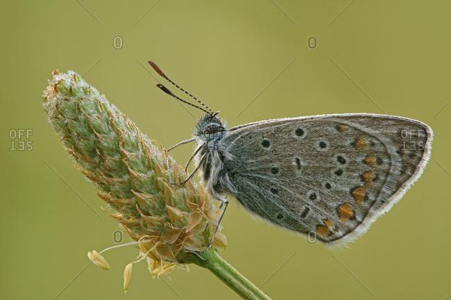 Common Blue (Polyommatus icarus), Hesse, Germany, Europe