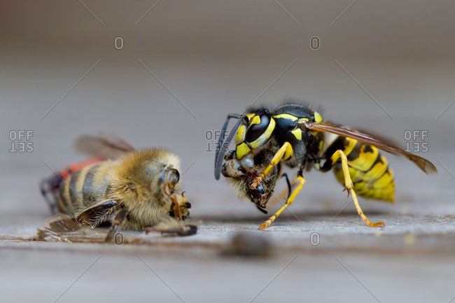 German wasp, also German yellow jacket or European wasp (Vespula germanica) eating western or European honey bee (Apis mellifera), Germany, Europe