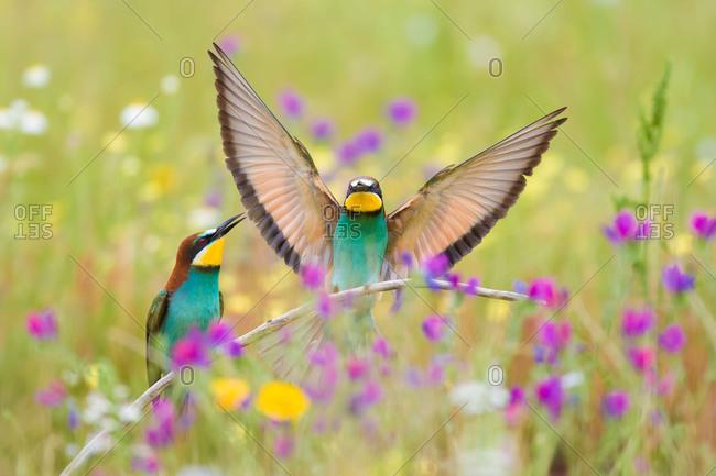 Bee-eaters (Merops apiaster), breeding pair in flower meadow, region of Extremadura, Spain, Europe
