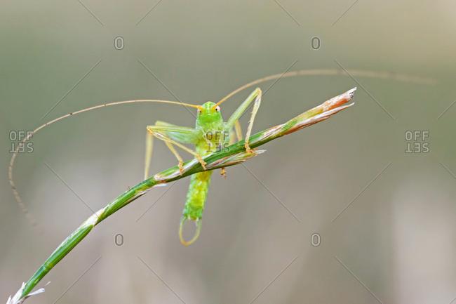 Grasshopper (Orthoptera) on blade of grass, Saxony-Anhalt, Germany, Europe