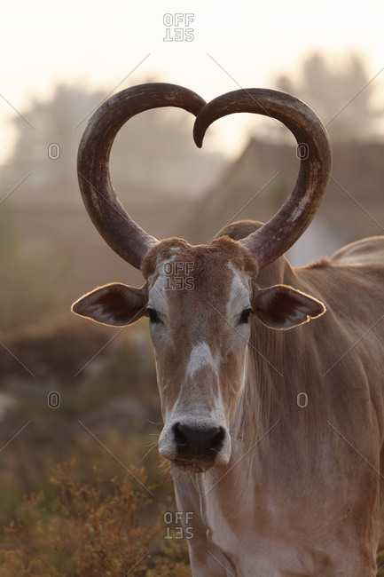 Zebu or humped cattle with heart-shaped horns, Karnataka, South India, India, South Asia, Asia
