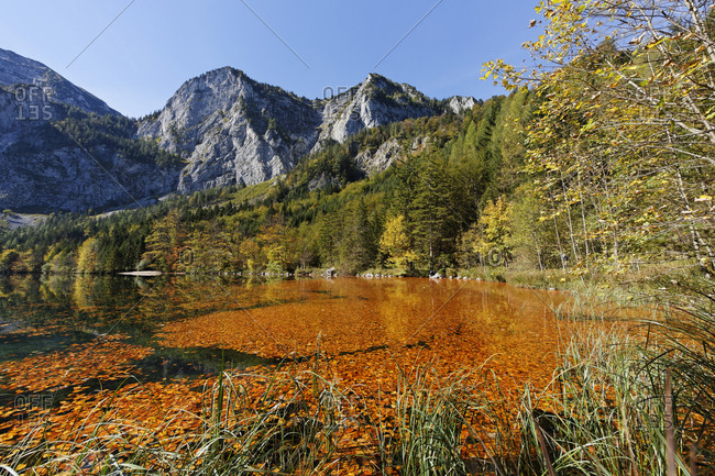 Lake Hinterer Langbathsee with beech leaves, Hoellengebirge mountains, Ebensee, Salzkammergut region, Upper Austria, Austria, Europe