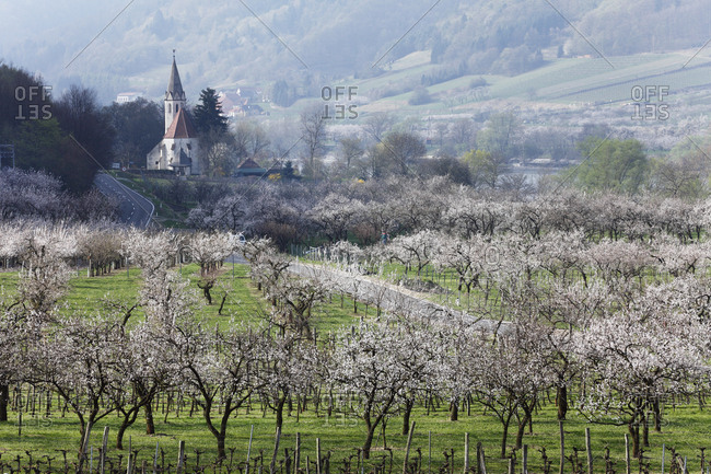 St. Johann im Mauerthale, apricot trees in blossom, flowering apricot trees (Prunus armeniaca), Wachau valley, Mostviertel region, Lower Austria, Austria, Europe