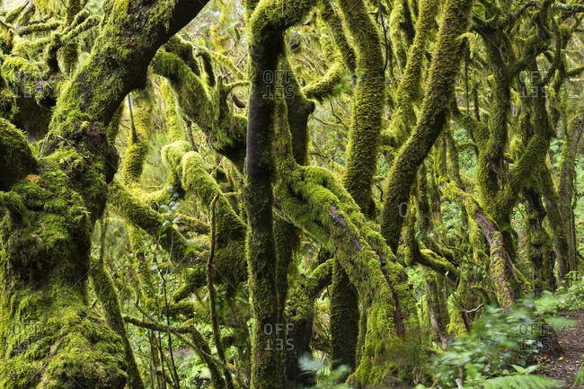 Mossy tree branches in a laurel forest, Garajonay National Park, La Gomera, Canary Islands, Spain, Europe