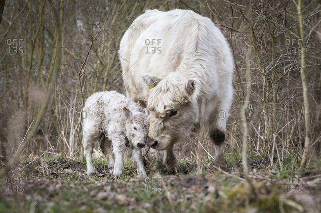 Galloway cattle (Bos primigenius taurus) with blond pigmentation, appropriate animal welfare, free range, suckler cow with newborn calf, Nature reserve Doberitz Heath, Priort, Brandenburg, Germany, Europe