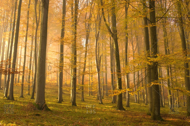 Early morning sunbeams seen through an autumnal coloured forest, Swabian Alb, Baden-Wuerttemberg, Germany, Europe
