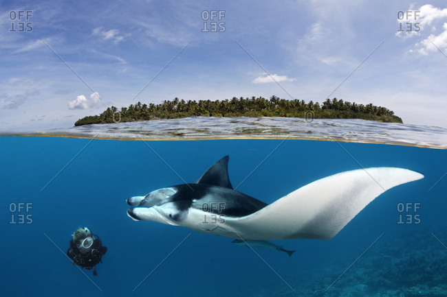Diver observing reef manta ray (Manta alfredi) over coral reef, near water surface and island, Indian Ocean, Maldives, Asia