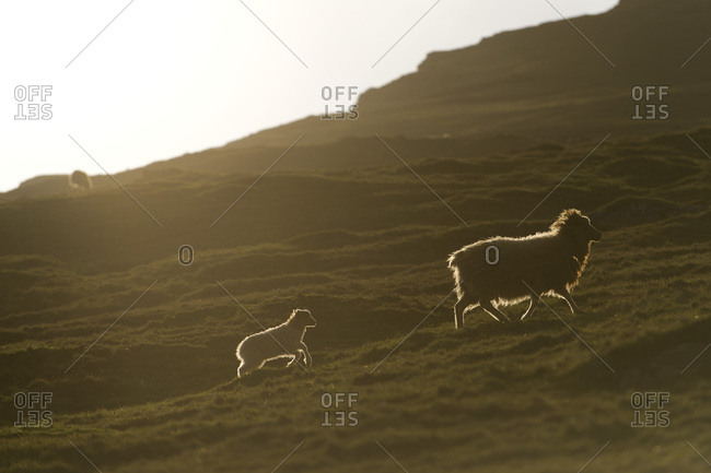 Ewe with a lamb with backlighting, Bour, Vagar, Faroe Islands, Denmark, Europe