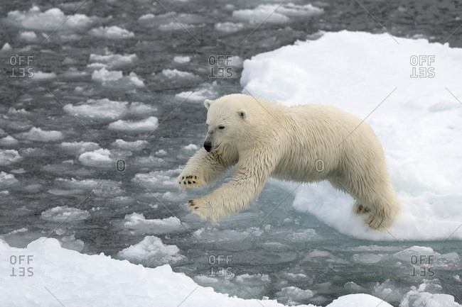 Polar Bear (Ursus maritimus) on pack ice, jumping from ice floe to ice floe, Spitsbergen Island, Svalbard Archipelago, Svalbard and Jan Mayen, Norway, Europe