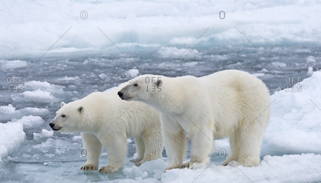 Polar Bears (Ursus maritimus), female and juvenile on an ice floe in the pack ice, Spitsbergen Island, Svalbard Archipelago, Svalbard and Jan Mayen, Norway, Europe