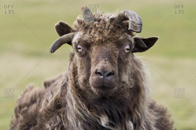 Sheep, Reykjanesskagi, Southern Peninsula or Reykjanes, Iceland, Europe