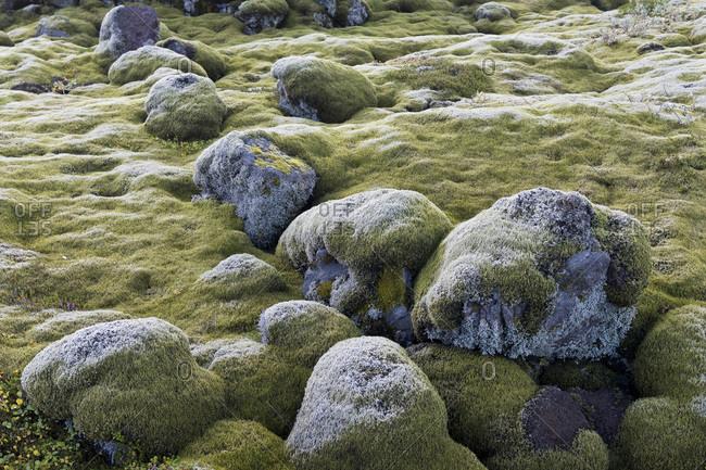 Lava rocks overgrown by Elongate Rock Moss (Racomitrium elongatum), Ytra Hraun, near Kirkjubaejarklaustur, community of Skaftarhreppur, Southern Region, Iceland, Europe