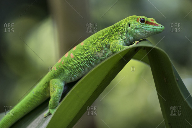 Madagascar Day Gecko (Phelsuma madagascariensis), captive, native to Madagascar