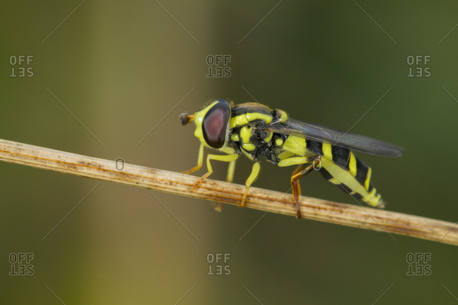 Hoverfly (Xanthogramma pedissequum), on dry leaf stem, South Wales, United Kingdom, Europe