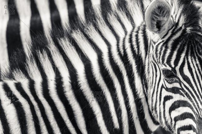 Burchell's Zebra (Equus quagga burchellii), juvenile, Etosha National Park, Namibia, Africa