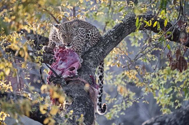 Leopard (Panthera pardus), adult female in tree with carcass, South Africa, Africa