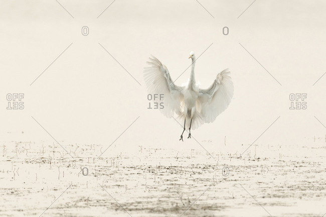 Great Egret (Ardea alba), landing, Lower Saxony, Germany, Europe