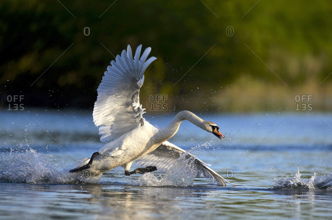 Mute swan (Cygnus olor) in water, attacking, Rheinberg, Lower Rhine North Rhine-Westphalia, Germany, Europe