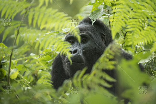Mountain Gorilla (Gorilla beringei beringei), male, Bwindi Impenetrable National Park, Uganda, Africa