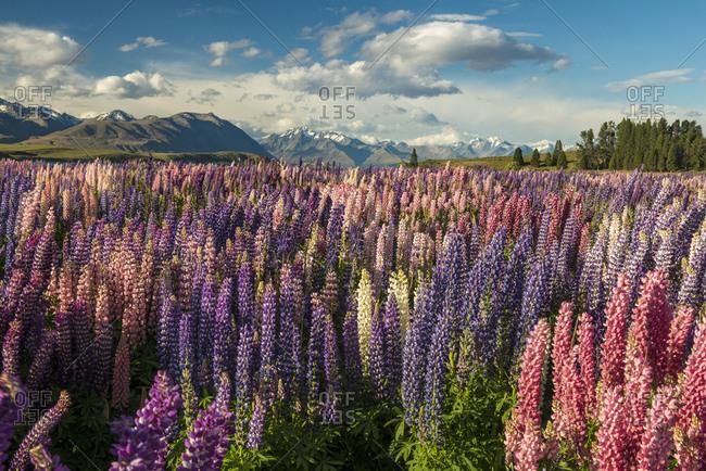 Lupine field (Lupinus) on the shores of Lake Tekapo, Tekapo, Canterbury Region, Southland, New Zealand, Oceania