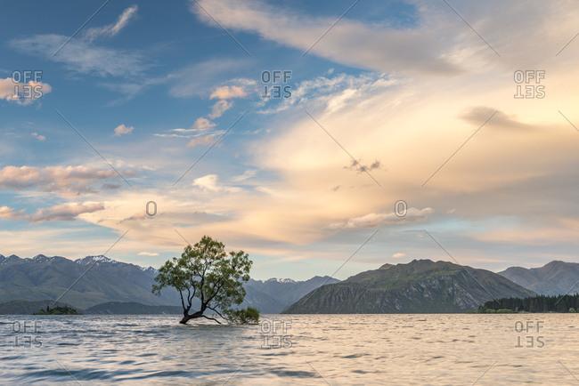 Single tree standing in the water, The Wanaka Tree, Lake Wanaka, Otago, Southland, New Zealand, Oceania