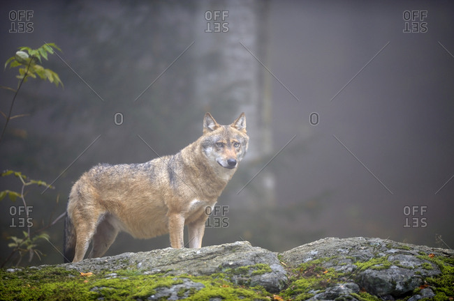 Grey Wolf (Canis lupus) on a moss-covered rock, Altschoenau, Bavarian Forest, Bavaria, Germany, Europe