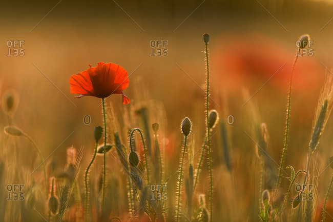 Poppies (Papaver) flowering in a cornfield, Bavaria, Germany, Europe