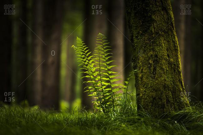 Genuine fern (Polypodiopsida, Filicopsida) in front of spruce forest, Grafenau, Freyung-Grafenau, Bavarian Forest, Lower Bavaria, Germany, Europe