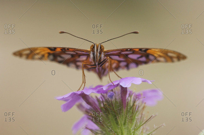 Gulf Frittilary (Agraulis vanillae), adult on Prairie Verbena (Verbena bipinnatifida), Uvalde County, Hill Country, Central Texas, USA, North America