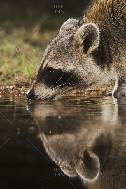Northern Raccoon (Procyon lotor), adult at night drinking, Uvalde County, Hill Country, Texas, USA, North America