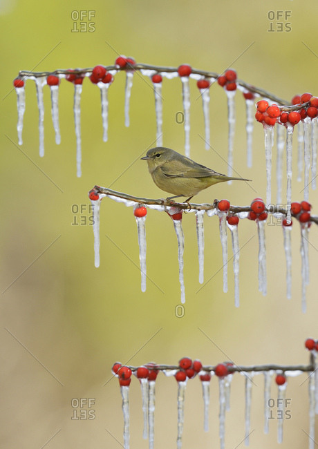 Orange-crowned Warbler (Vermivora celata), adult perched on icy branch of Possum Haw Holly (Ilex decidua) with berries, Hill Country, Texas, USA, North America