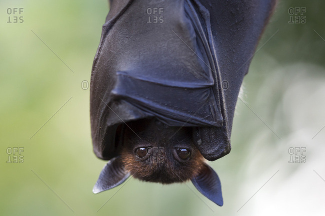 Indian flying fox or greater Indian fruit bat (Pteropus giganteus) hanging, captive