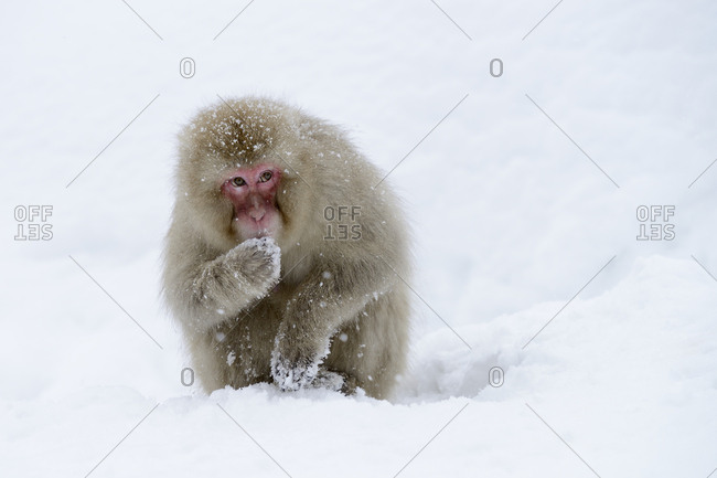 Japanese Macaque or Snow Monkey (Macaca fuscata), eating snow, Affenpark Jigokudani, Nagano Prafektur, Japan, Asia
