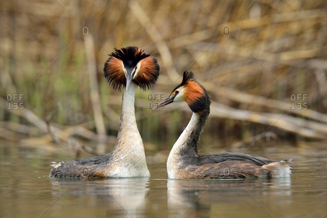 Great Crested Grebes (Podiceps cristatus), pair in courtship, Lake Lucerne, Canton of Lucerne, Switzerland, Europe
