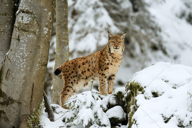 Lynx or Northern lynx (Lynx lynx), standing on fresh snow-covered rock, animal enclosure, captive, Bavarian Forest National Park, Bavaria, Germany, Europe
